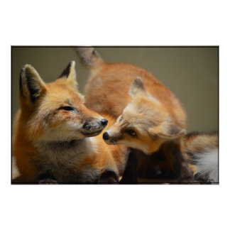Red Fox Pair Poster