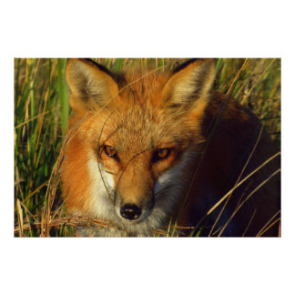 Red Fox photographic poster