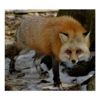 Red Fox Posters