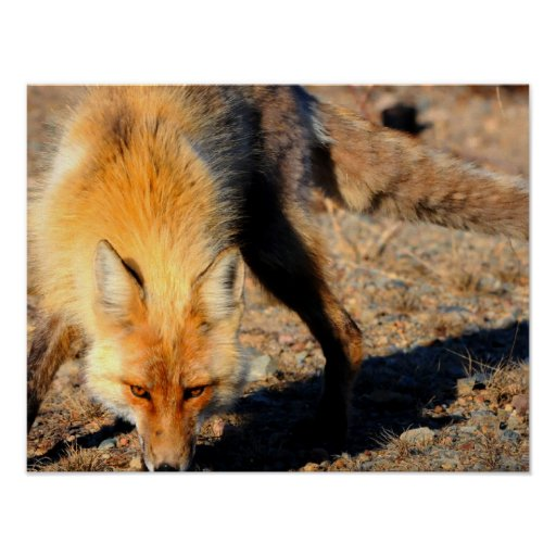 Red Fox Poster Print