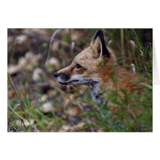 Red Fox - Profile of a Fox Cards