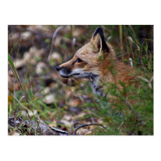 Red Fox - Profile of a Fox Post Card