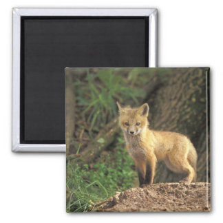 Red Fox pup in front of den (Vulpes vulpes) 2 Inch Square Magnet