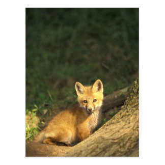 Red Fox pup in front of den (Vulpes vulpes) 2 Post Cards