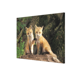 Red Fox pup in front of den Vulpes vulpes) Canvas Print