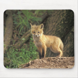 Red Fox pup in front of den (Vulpes vulpes) Mouse Pad