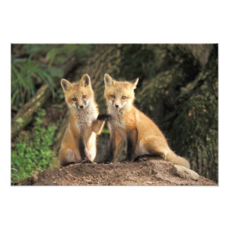 Red Fox pup in front of den Vulpes vulpes) Photo Print