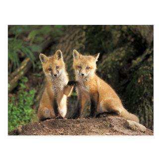 Red Fox pup in front of den Vulpes vulpes) Postcard