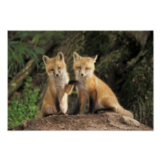 Red Fox pup in front of den Vulpes vulpes) Poster