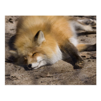 Red Fox Resting Post Cards