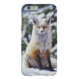 Red Fox sitting on snow bank, Vulpes, Mt. Barely There iPhone 6 Case