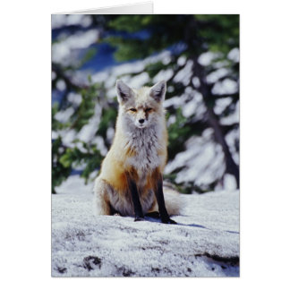 Red Fox sitting on snow bank, Vulpes, Mt. Card