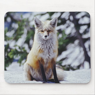 Red Fox sitting on snow bank, Vulpes, Mt. Mouse Pads