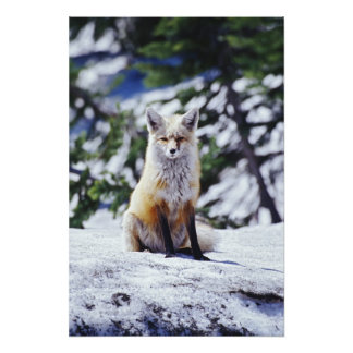 Red Fox sitting on snow bank, Vulpes, Mt. Photo Print