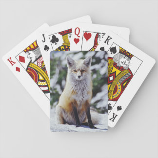 Red Fox sitting on snow bank, Vulpes, Mt. Poker Cards