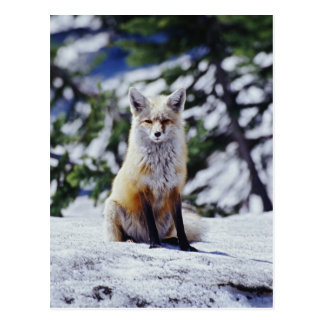 Red Fox sitting on snow bank, Vulpes, Mt. Postcard