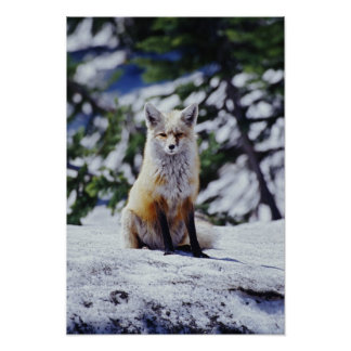 Red Fox sitting on snow bank, Vulpes, Mt. Poster
