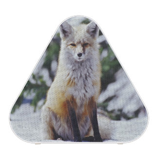 Red Fox sitting on snow bank, Vulpes, Mt. Speaker