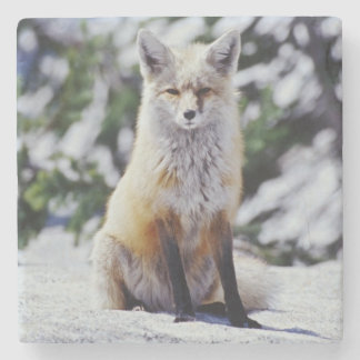 Red Fox sitting on snow bank, Vulpes, Mt. Stone Coaster