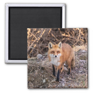 Red Fox up close and personal 2 Inch Square Magnet