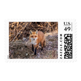 Red Fox up close and personal Postage