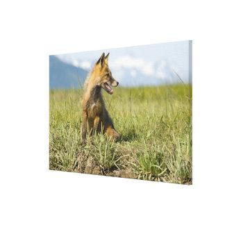 Red Fox, Vulpes fulva , Katmai National Park, Canvas Print