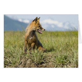 Red Fox, Vulpes fulva , Katmai National Park, Cards