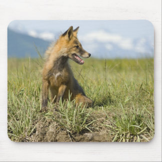 Red Fox, Vulpes fulva , Katmai National Park, Mouse Pad