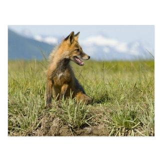 Red Fox, Vulpes fulva , Katmai National Park, Postcard