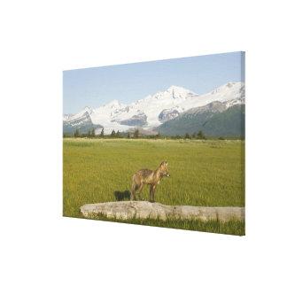 Red Fox, Vulpes fulva, on log, , Hallo Glacier Canvas Print