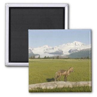 Red Fox, Vulpes fulva, on log, , Hallo Glacier Refrigerator Magnet