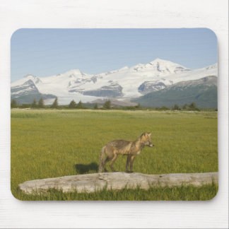 Red Fox, Vulpes fulva, on log, , Hallo Glacier Mouse Pad
