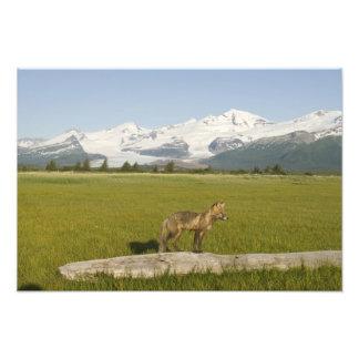 Red Fox, Vulpes fulva, on log, , Hallo Glacier Photographic Print
