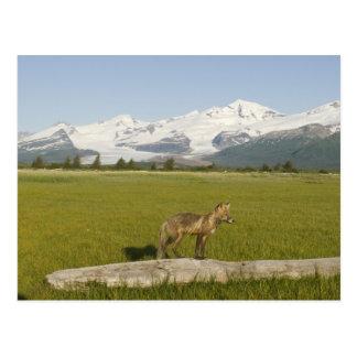 Red Fox, Vulpes fulva, on log, , Hallo Glacier Post Card