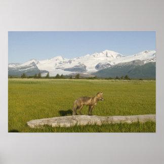 Red Fox, Vulpes fulva, on log, , Hallo Glacier Poster