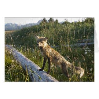 Red Fox, Vulpes fulva on log, Wildflowers, 2 Card