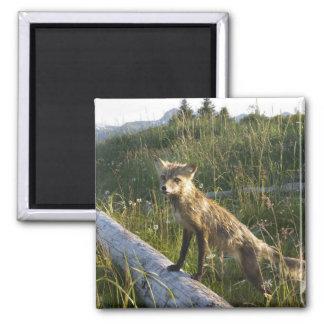 Red Fox, Vulpes fulva on log, Wildflowers, 2 Refrigerator Magnet