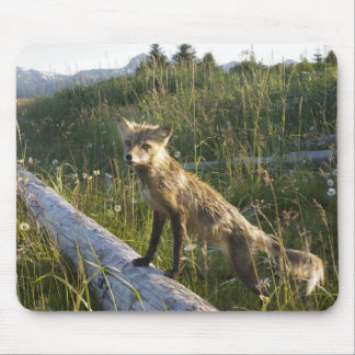 Red Fox, Vulpes fulva on log, Wildflowers, 2 Mouse Pad