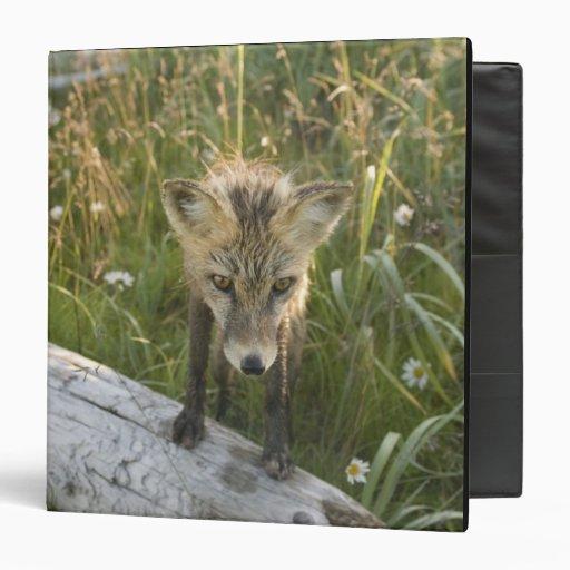Red Fox, Vulpes fulva on log, Wildflowers, Binders