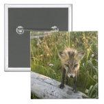 Red Fox, Vulpes fulva on log, Wildflowers, Button