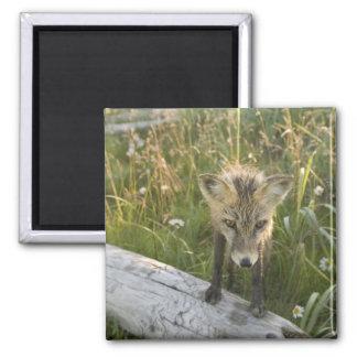 Red Fox, Vulpes fulva on log, Wildflowers, Refrigerator Magnets
