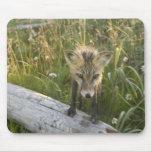 Red Fox, Vulpes fulva on log, Wildflowers, Mousepads