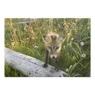 Red Fox, Vulpes fulva on log, Wildflowers, Photo