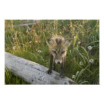 Red Fox, Vulpes fulva on log, Wildflowers, Posters