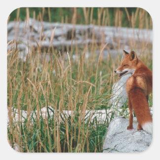 Red Fox, Vulpes vulpes, Alaska Peninsula, 2 Square Sticker