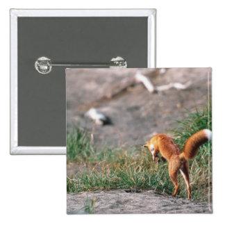 Red Fox, Vulpes vulpes, Alaska Peninsula, 3 2 Inch Square Button