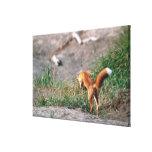 Red Fox, Vulpes vulpes, Alaska Peninsula, 3 Gallery Wrap Canvas