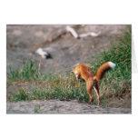 Red Fox, Vulpes vulpes, Alaska Peninsula, 3 Cards