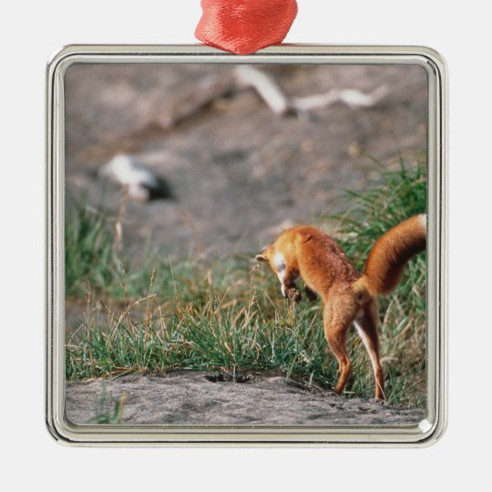 Red Fox, Vulpes vulpes, Alaska Peninsula, 3 Metal Ornament