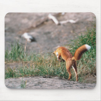 Red Fox, Vulpes vulpes, Alaska Peninsula, 3 Mouse Pad